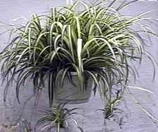 Zelenec - anglicky spider plant (8 kB)