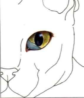 Kočičí třetí víčko - názorná kresba z mé knížky (5 kB)