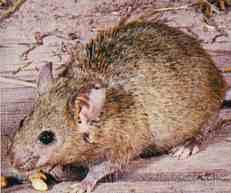 Myš domácí (6 kB)
