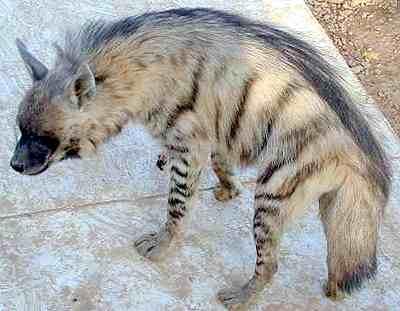 Hyena žíhaná v zajetí (10 kB)