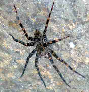 fa54b5b3eef Pavouk lovčík - anglicky  rybařící  pavouk (12 kB)